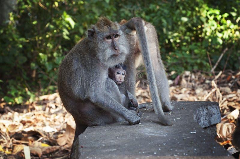 Família do macaco, Ubud bali indonésia fotografia de stock royalty free