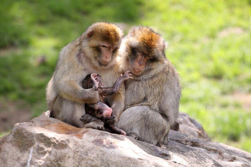 Família do Macaque imagem de stock