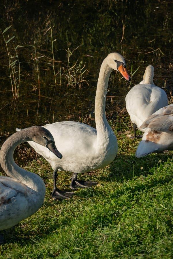 A família do olor branco do Cygnus das cisnes senta-se na grama de um lago em Goryachiy Klyuch Região de Krasnodar imagens de stock