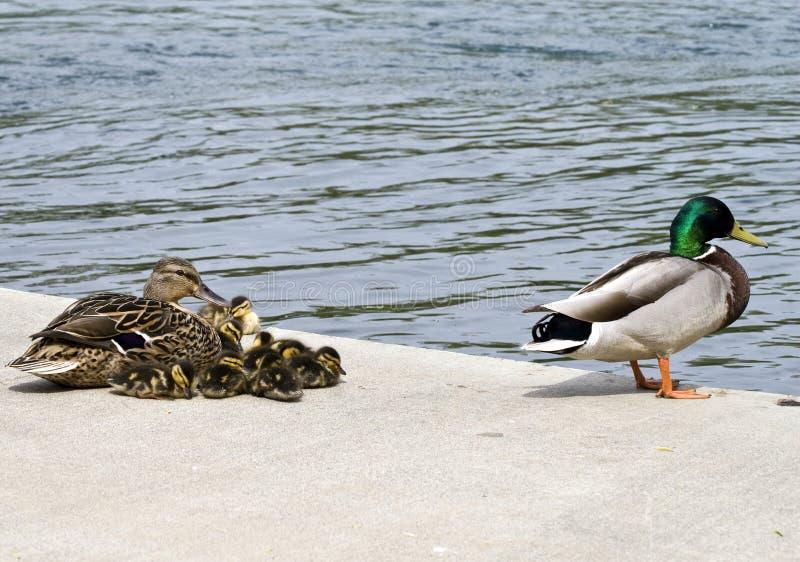 Família do pato do pato selvagem fotos de stock