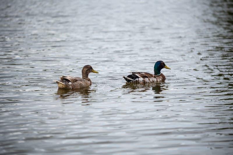 A família do pato está nadando em uma lagoa pequena foto de stock
