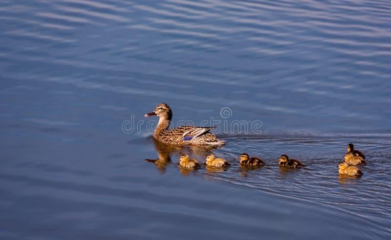 A família do pato selvagem Ducks a natação foto de stock