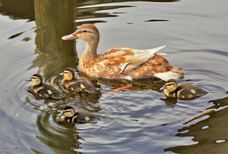 Família do pato selvagem para fora para uma nadada foto de stock