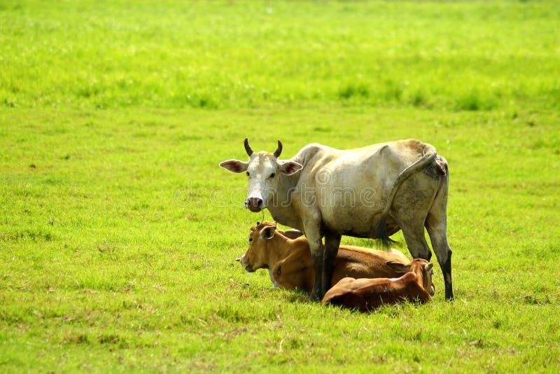 Família do ` s da vaca no campo fotografia de stock