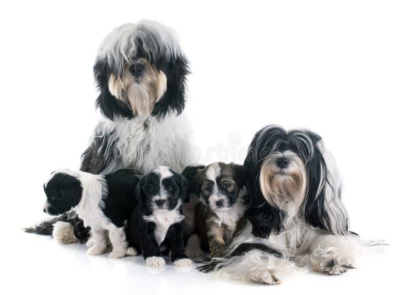 Família do terrier tibetano fotos de stock