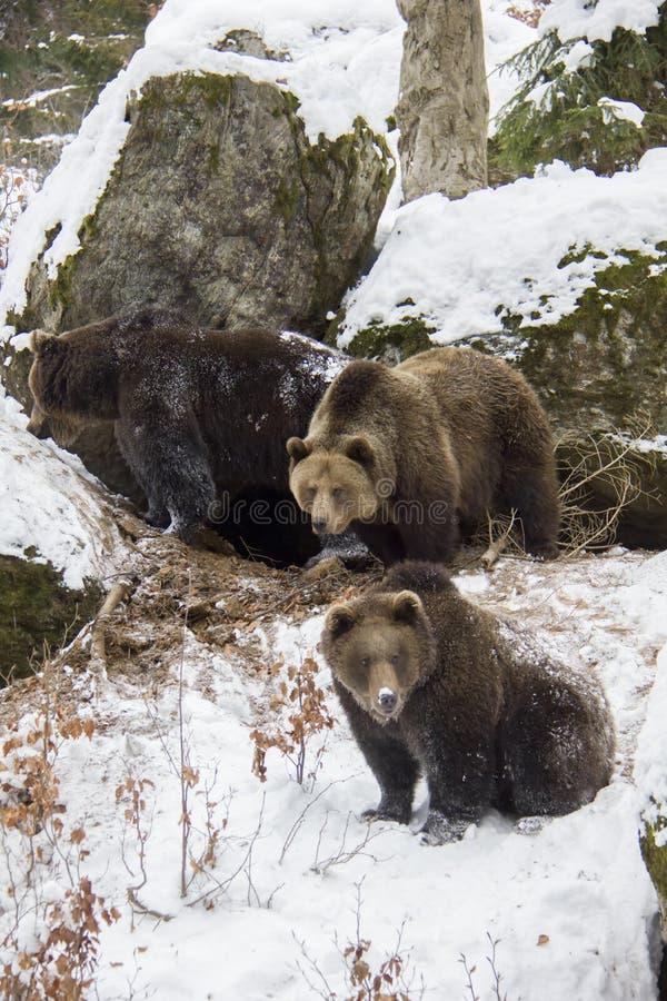 Família do urso de Brown em uma neve imagem de stock royalty free