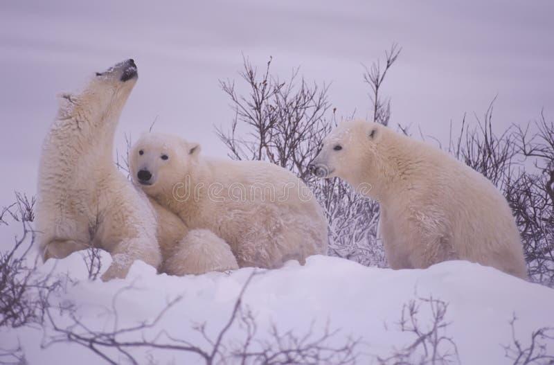 Família do urso polar. Perigo de cheiro da porca. imagens de stock