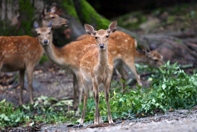 Família dos cervos fotos de stock royalty free