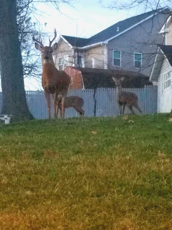 Família dos cervos foto de stock royalty free