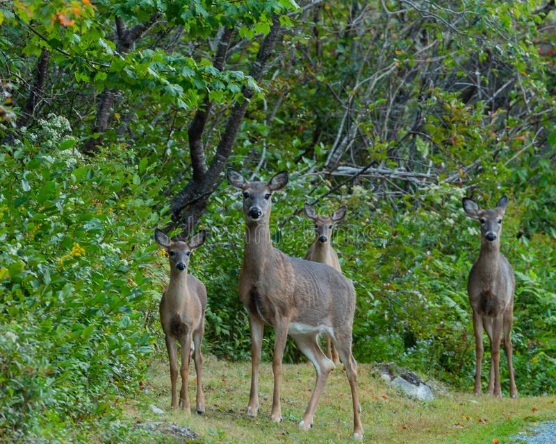 Família dos cervos em um esclarecimento arborizado por uma estrada do cascalho imagem de stock royalty free