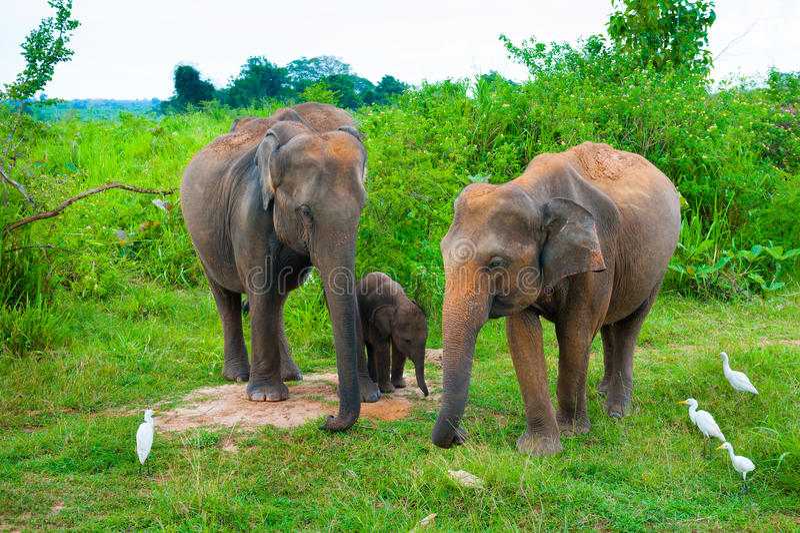 Família dos elefantes com jovens um imagem de stock