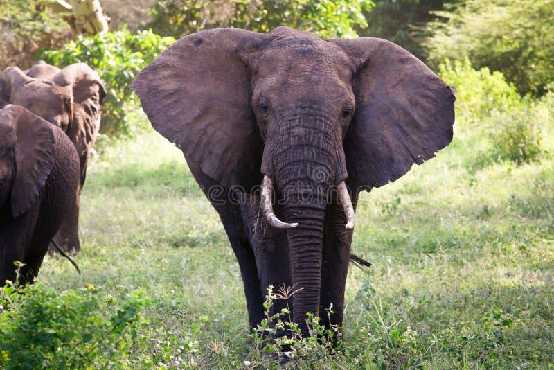 Família dos elefantes na estrada de Serengeti do thre imagens de stock