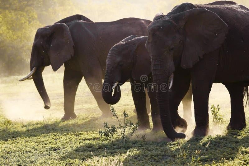 Família dos elefantes na estrada de Serengeti do thre foto de stock royalty free