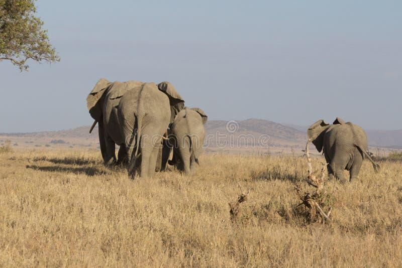 Família dos elefantes que andam na distância em Serengeti imagem de stock royalty free
