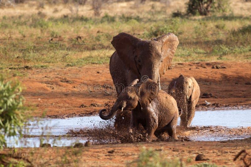 Família dos elefantes que jogam na lama vermelha foto de stock royalty free