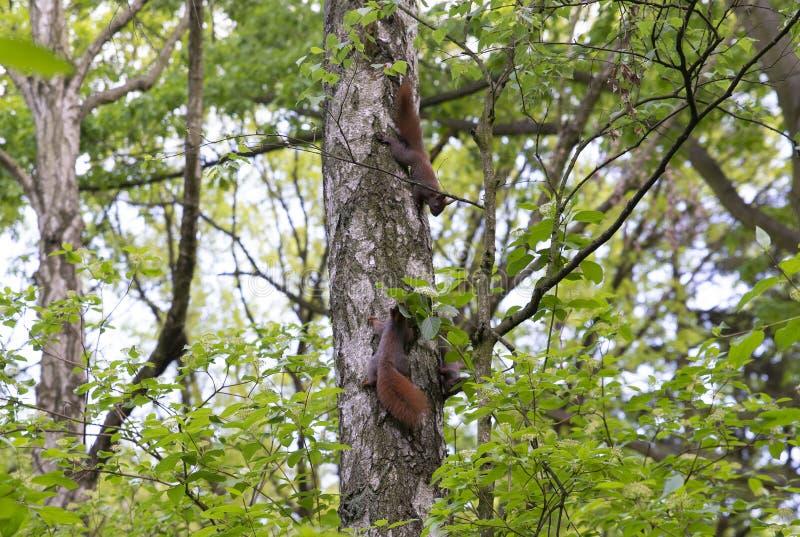 Família dos esquilos na árvore fotografia de stock royalty free