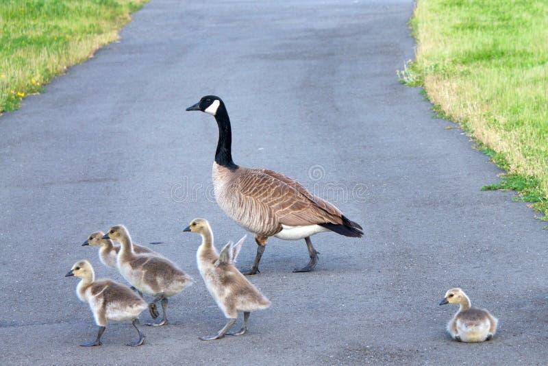 Família dos gansos de Canadá que cruzam a estrada imagem de stock