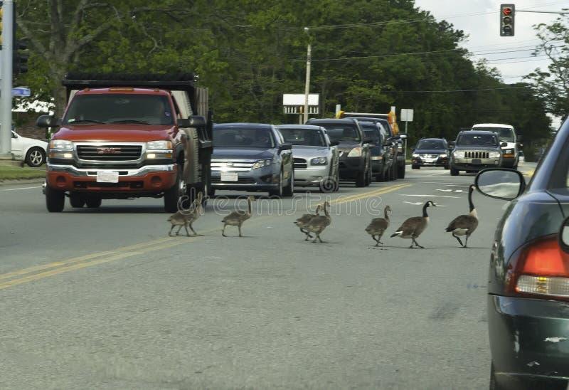 Família dos gansos de Canadá que cruzam a estrada imagem de stock royalty free
