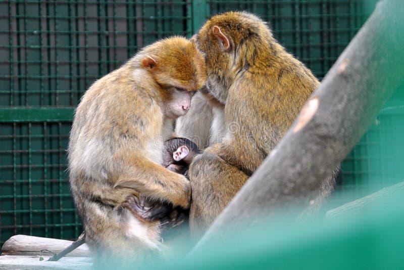 Família dos macacos com um filhote no jardim zoológico fotos de stock