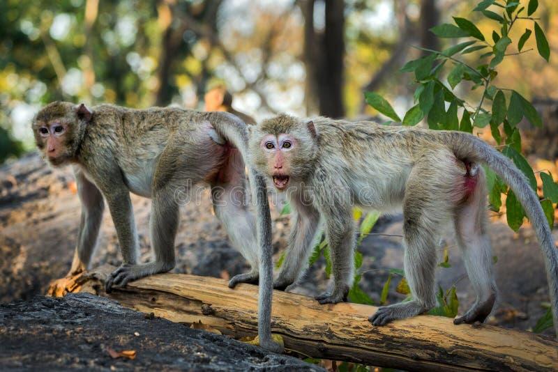 A família dos macacos no natural fotos de stock royalty free