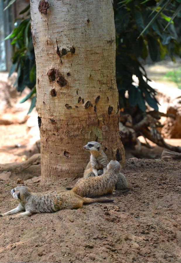 A família dos meerkats - meerkats preguiçosos imagens de stock