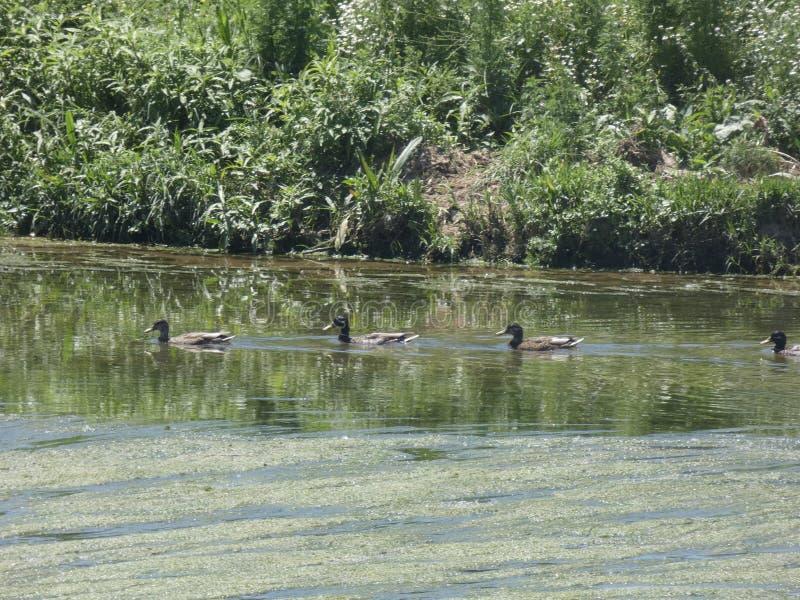 Família dos patos que nadam pelo rio Llobregat imagens de stock royalty free
