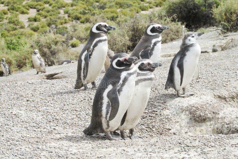 Família dos pinguins de Magellan foto de stock