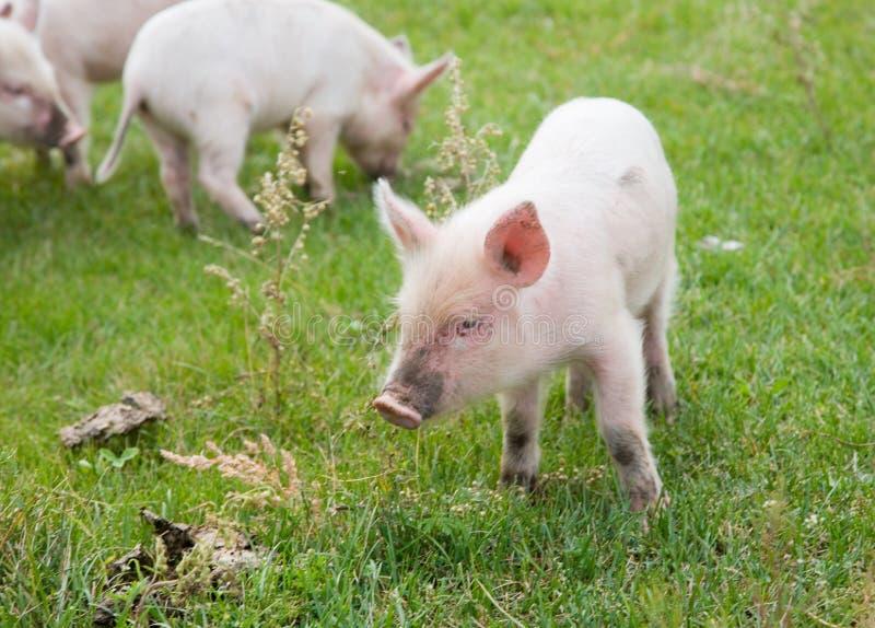 Família dos porcos fotografia de stock