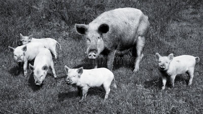 Família dos porcos fotografia de stock royalty free