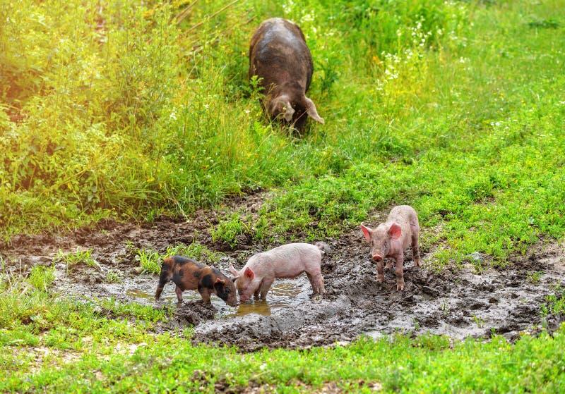 Família dos porcos em um pântano fotos de stock
