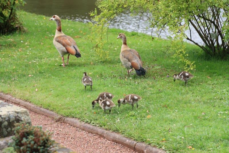 Família egípcia dos gansos em Rose Garden imagem de stock