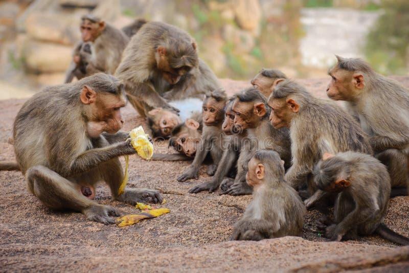 Família engraçada do macaco foto de stock