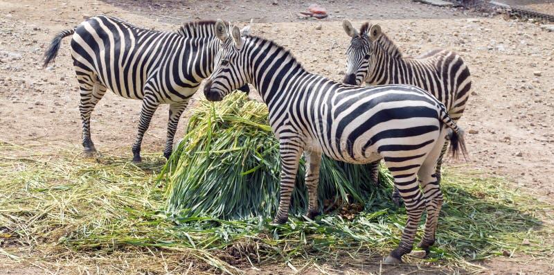 Família feliz da zebra imagem de stock royalty free