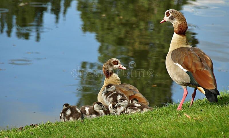 Família ganso-bonito egípcia com pintainhos foto de stock