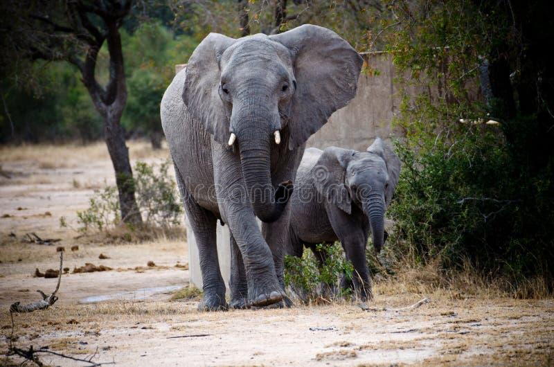 Família no parque de Kruger imagem de stock
