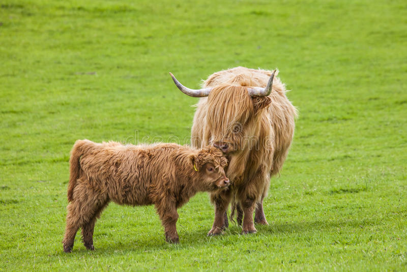 Família no prado - gado e vitela escoceses fotos de stock royalty free