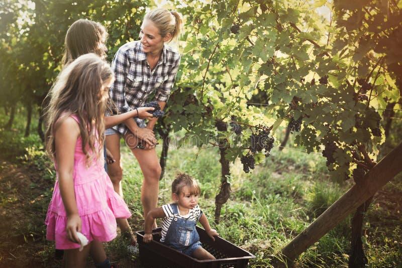 Família que colhe uvas no vinhedo imagem de stock royalty free