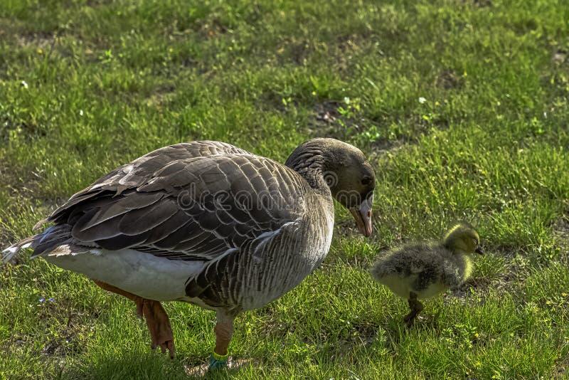 Família selvagem do ganso de pato bravo europeu no parque francês fotografia de stock