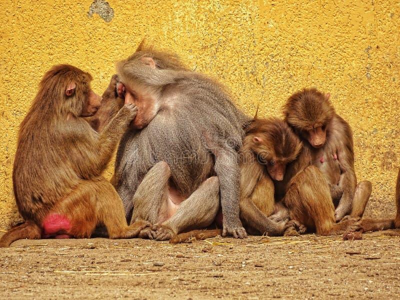 Fam?lia do macaco imagem de stock royalty free