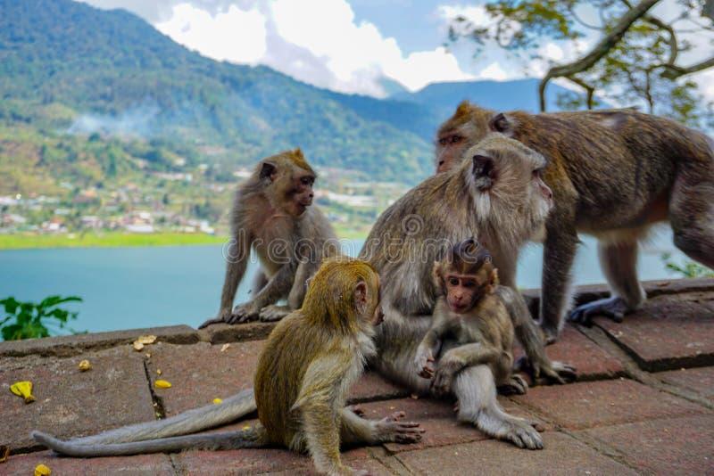 Fam?lia dos macacos com um macaque pequeno do beb? perto de Tample na floresta do macaco, Ubud, Bali, Indon?sia foto de stock royalty free