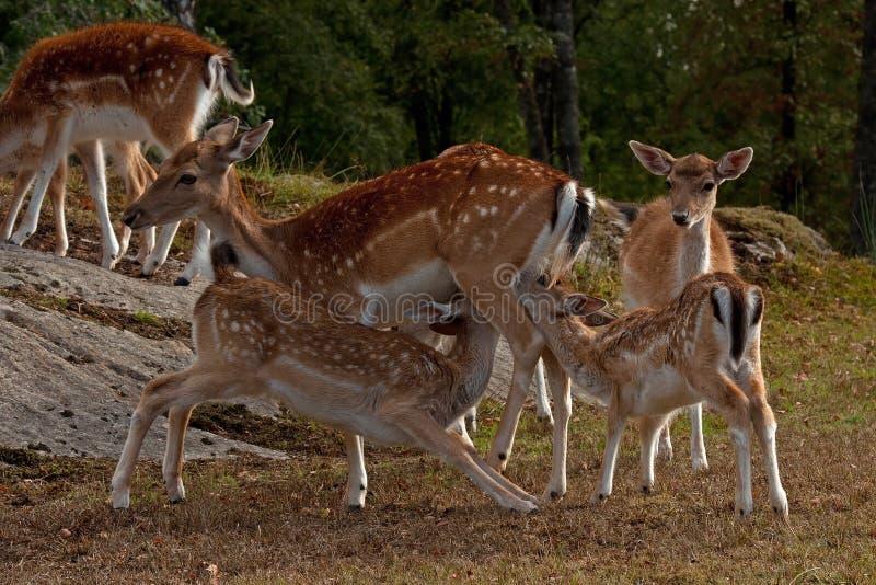 Famale królica wykarmia dwa potomstw źrebięcia w Szwecja ugoru rogacz fotografia royalty free