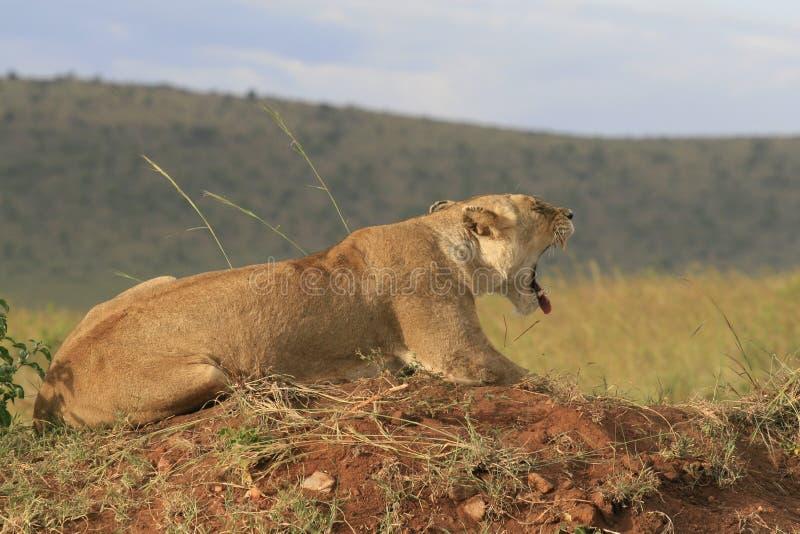 Famale-Löwe, der im trockenen Gras stillsteht und gähnt in Masai Mara, Kenia liegt lizenzfreie stockfotos