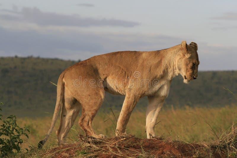 Famale lwa lying on the beach w suchej trawie odpoczywa i rozci?ga w Masai Mara, Kenja zdjęcia stock