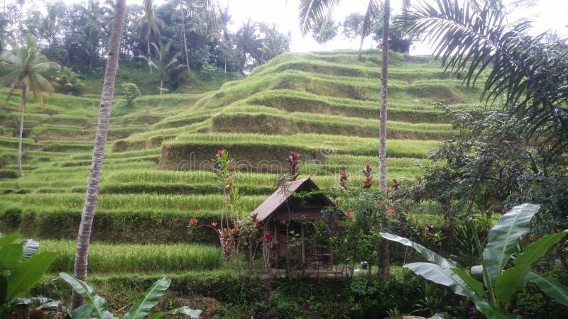 Famer的生活在Ubud巴厘岛印度尼西亚 库存图片