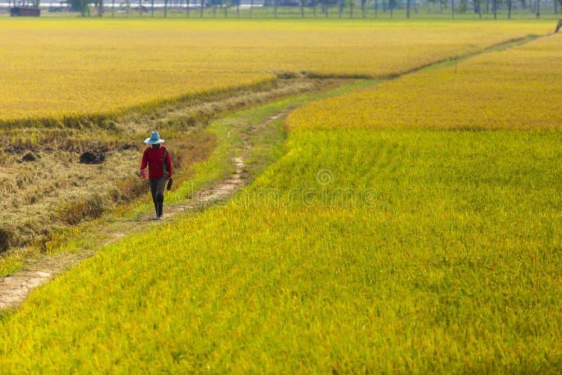 Famer με τον τομέα ρυζιού στοκ φωτογραφία με δικαίωμα ελεύθερης χρήσης