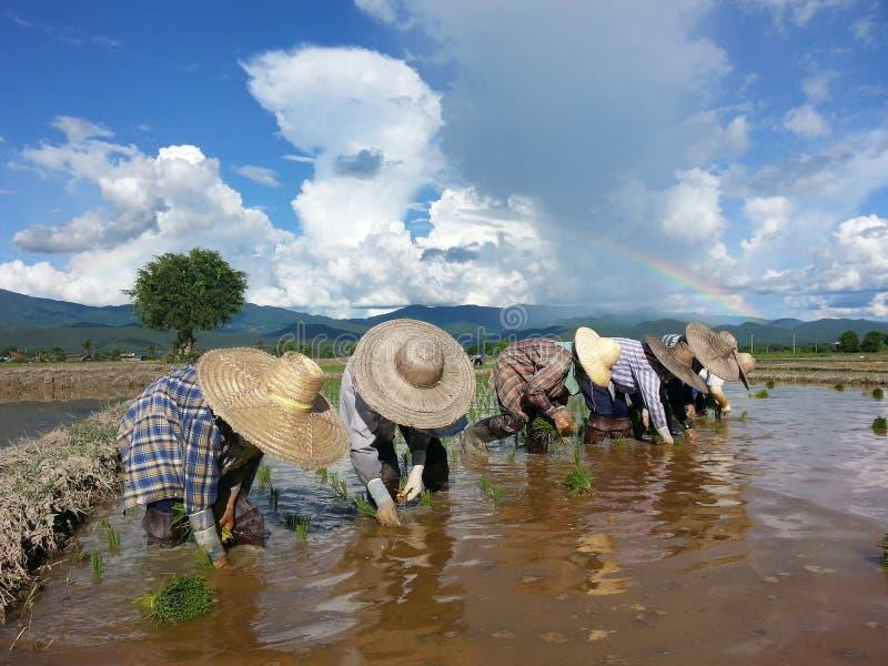 Famer засаживая поле риса с предпосылкой радуги, Таиландом стоковое изображение