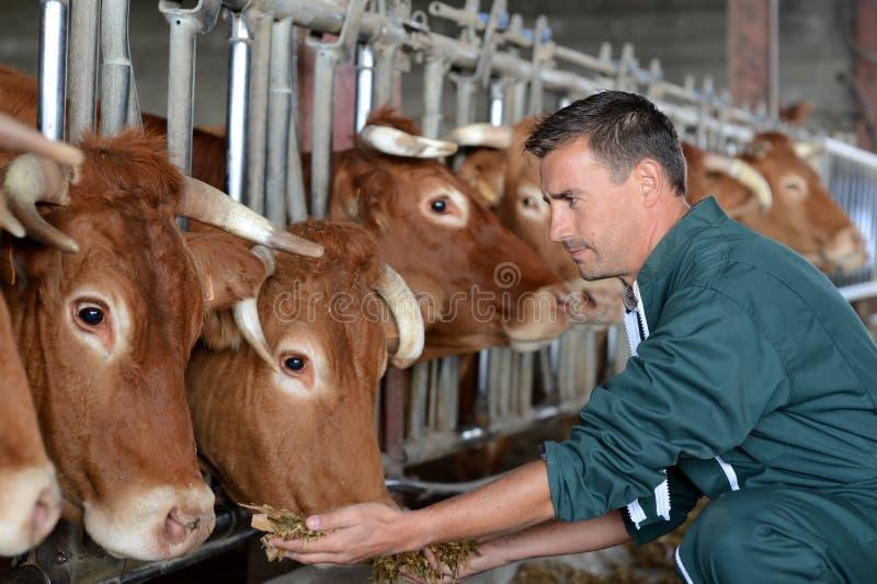 Famer y vacas imagenes de archivo