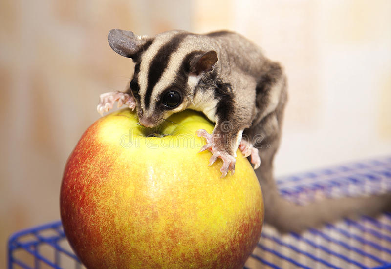 Famiglia animale del seme australiano dello zucchero delle proteine con la mela immagini stock libere da diritti