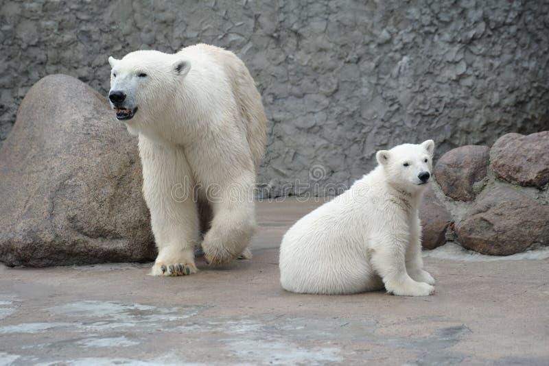 Famiglia bianca degli orsi polari fotografie stock