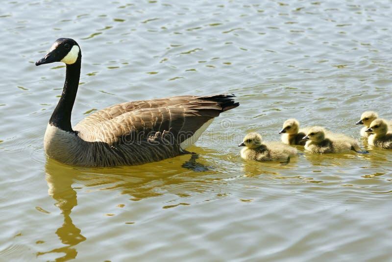 Famiglia canadese dell'oca fotografie stock libere da diritti